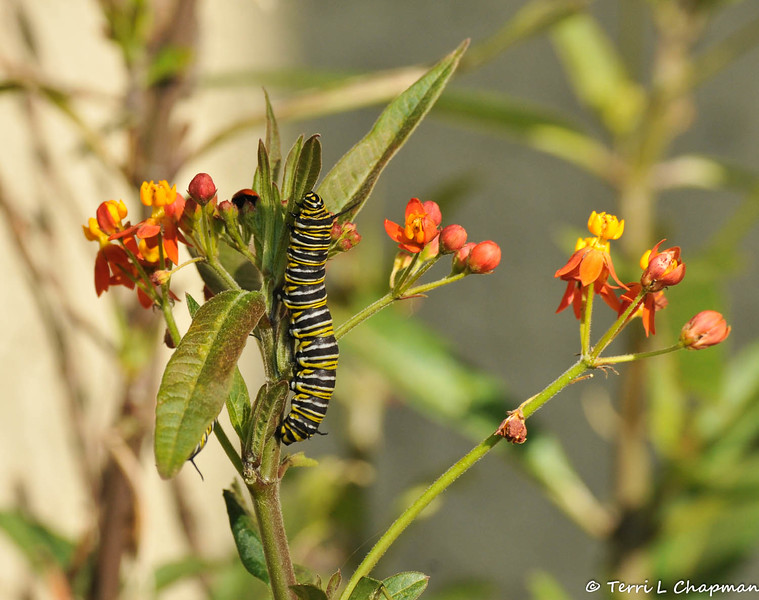 A Monarch Caterpillar eating the flowers off a Milkweed plant. A second caterpillar is slightly visible underneath the leaf on the left. There is also a ladybug at the top of the plant.