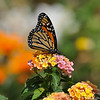 A beautiful male Monarch Butterfly, sipping nectar from Lantana blooms, before he takes his first flight. This Monarch was born in my garden on May 8, 2015.