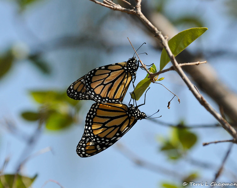 Two Monarch Butterflies mating in my Chinese Fringe tree. The male is on top and can be distinguished from the female by the thinner black webbing within the wings. The female's webbing is thicker and she has no identifying wing spot as the male does. A male has two highly visable black spots on the hind wings and in this image you can see one of the spots if you look closely.