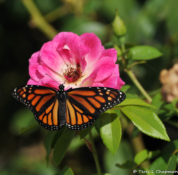 On June 29, 2015, my 200th Monarch was born and released in my garden! Before the beautiful female took her first flight, I placed her on an Iceberg rose so she could stretch her wings and feel the warmth of the sun, which allowed her to fly.