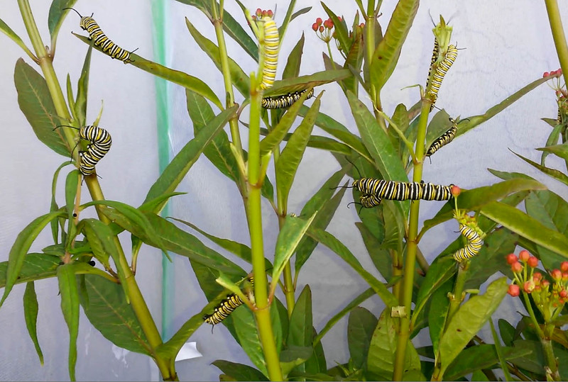 """For Spring 2015, I bought large caterpillar castles to raise Monarchs in (to cut down on predator deaths and disease) and in this image you can see the first group of large, healthy Monarch caterpillars being raised in their """"castle."""""""