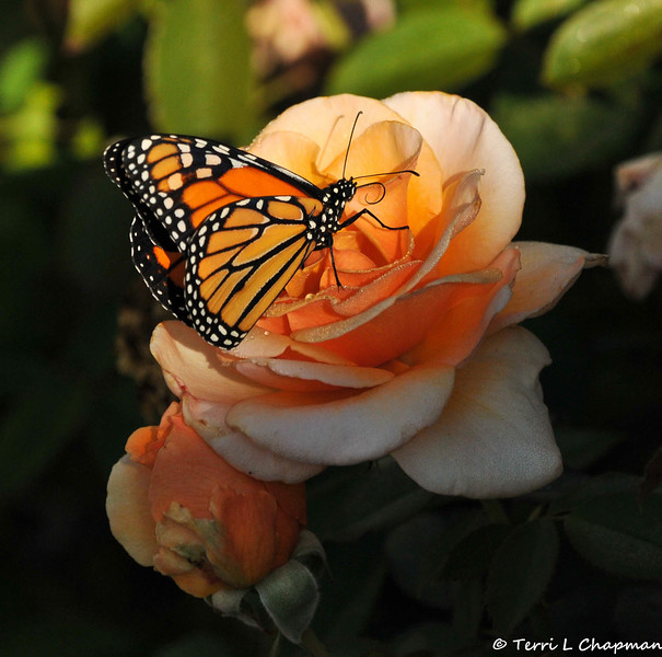 A beautiful male Monarch Butterfly sipping nectar from a Cary Grant rose.  This Monarch was born in my garden on October 22, 2015.