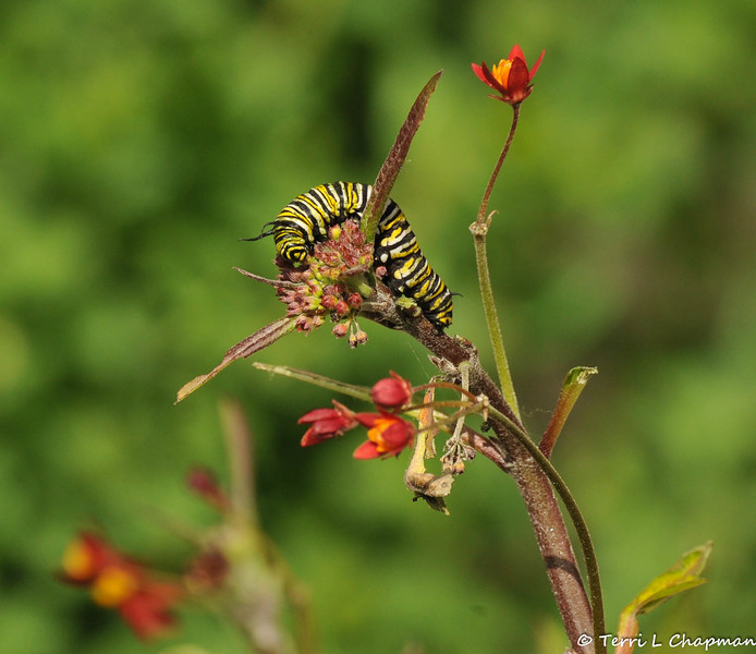 A Monarch Caterpillar on Milkweed