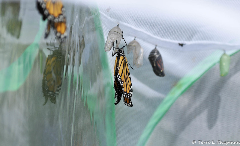 A female Monarch Butterfly a few moments after she emerged from her chrysalis.  In the foreground is another Monarch that is ready to emerge and on the left side of the image is a male Monarch that is drying his wings.