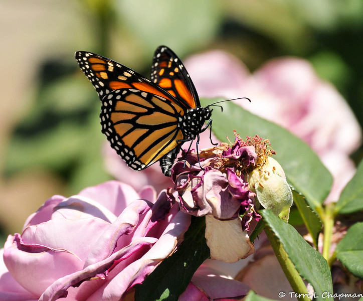"""A beautiful female Monarch Butterfly drying her wings on a """"Plum Crazy"""" rose. This Monarch was born in my garden on May 2, 2015."""