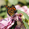 "A beautiful female Monarch Butterfly drying her wings on a ""Plum Crazy"" rose. This Monarch was born in my garden on May 2, 2015."