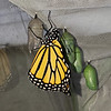 Milestone Monarch #3,000 was a female, born on July 8, 2021 and released the same day.