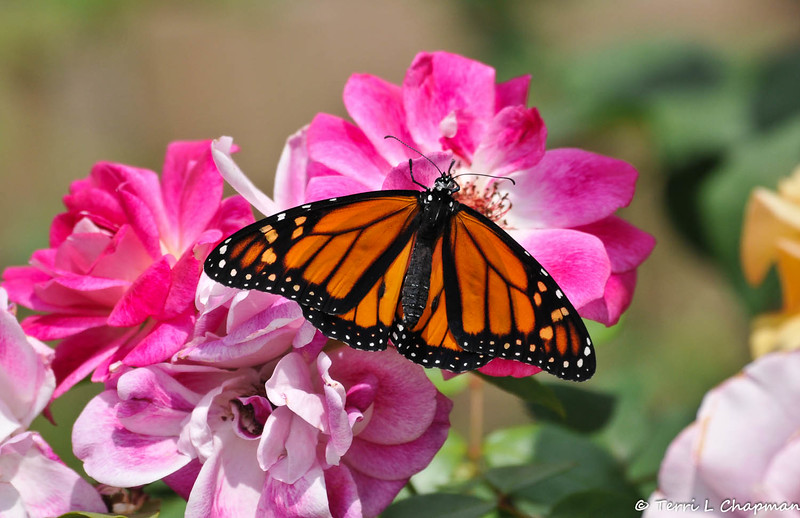 A beautiful male Monarch Butterfly drying his wings on an Iceberg rose. Can you see the bits of chrysalis still on his head? This Monarch was born in my garden on May 9, 2015.