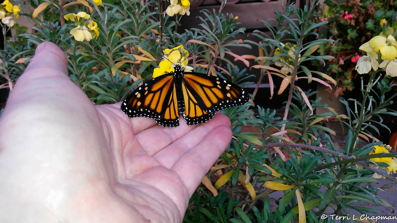 In this image I am giving the new Monarch Butterfly a helping hand. The butterfly emerged late in the day, around 3:30 pm and needed a place to sleep overnight since it was still not able to fly.