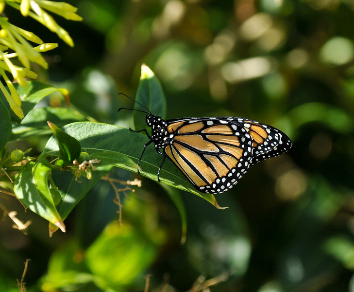 On October 3, 2015, my 800th Monarch was born and released in my garden!  The male Monarch landed on a Night Blooming Jasmine bush to  sun his wings before he flew away.