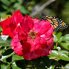 A beautiful male Monarch Butterfly drying his wings on a rose. This Monarch was born in my garden on May 10, 2015.
