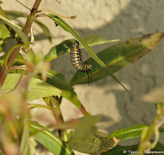 A Monarch Caterpillar getting ready to pupate.