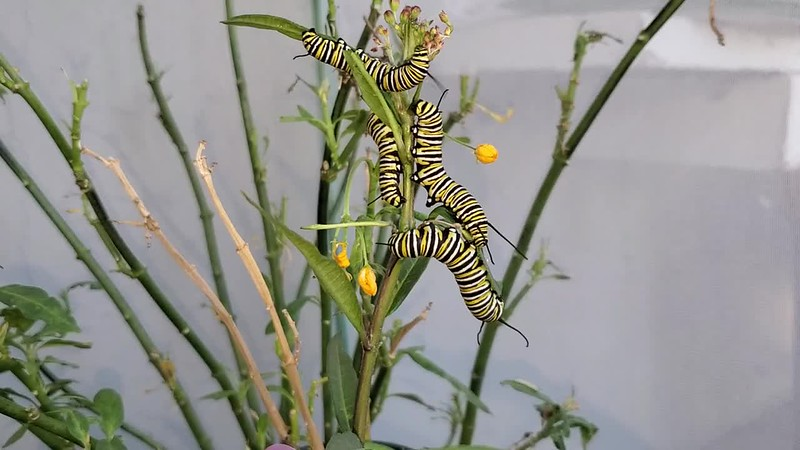 MONARCH CATERPILLARS DEFENDING THEIR SPACE