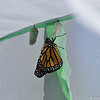 My 1000th Monarch was born at 10:30 a.m. on November 8, 2015 and was a male!! He was released into the world at 2:00 p.m.