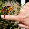 This is a photograph of me releasing my 900th Monarch Butterfly, a female, as she lifts off my finger for her first flight to freedom.