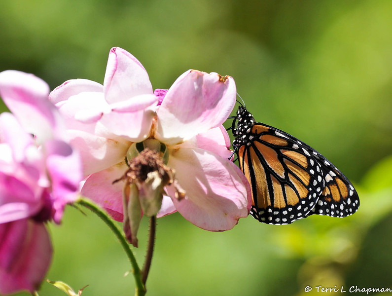 A beautiful female Monarch Butterfly drying her wings on an Iceberg rose. This Monarch was born in my garden on May 2, 2015.