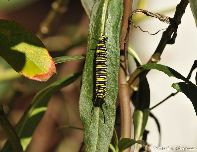A Monarch Caterpillar on a leaf of a Milkweed plant.