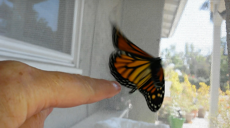 """On her way to freedom! Monarch #2,300 was born on September 1, 2018 and """"she"""" was released into my garden around 2:00 p.m."""