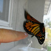 "On her way to freedom! Monarch #2,300 was born on September 1, 2018 and ""she"" was released into my garden around 2:00 p.m."