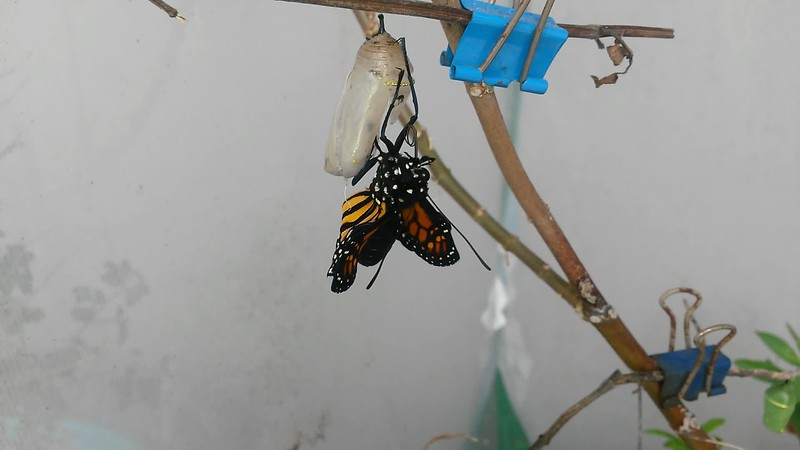 A male Monarch being born on March 19, 2019. In this video, you will see how this Monarch rocks back and forth, and opens and closes his wings, in order to inflate his wings with a reservoir of fluid contained in his swollen abdomen. As his wings inflate, the body of the butterfly attains its normal proportions. Once the wings are fully inflated, the Monarch expels any excess fluid and then rests as his wings dry, which can take several hours depending on the weather. Because this male was born late in the day, he could not be released until the next day.