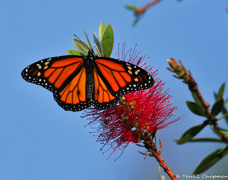 """This is one of five male Monarch Butterflies born in my garden on July 18, 2015. On that day we had an unusual summer thunder storm, with an inch of rain, so I could not release this butterfly until the following morning when the weather was nice and sunny. This male flew up and into my bottle bush tree  the minute I opened the """"castle"""" door (as did three of the male butterflies) and I took this picture of him sunning his wings."""
