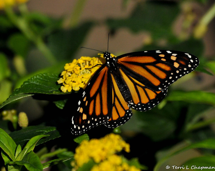 A beautiful female Monarch Butterfly born in my garden on October 19, 2015. I had 17 Monarchs born in the late afternoon that day and could not release them until the next morning, so I placed this female on my Lantana plant so she could sip nectar before she took her first flight.