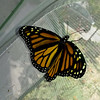 On June 23, 2017, my 1,900th Monarch Butterfly was born and it was a female!