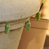 Three Monarch caterpillars that have formed chrysalis' on one of my flower pots. The last chrysalis on the right hand side was still forming.