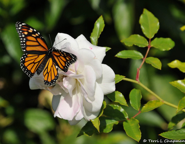 """On February 3, 2015, which was 20 days after the caterpillar formed the chrysalis, a female Monarch Butterfly emerged around 1:00 pm. In this image, she is flapping her wings on an """"Iceberg"""" rose."""