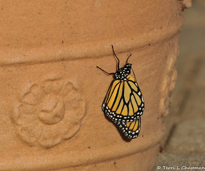 This is the female Monarch Butterfly fresh out of the chrysalis that was formed under the windowsill!!!! You can see the wings are flat against the flower pot, the antenna are drooping and the butterfly is limp. This photograph was taken on January 21 and this Monarch took 17 days to transform from a caterpillar to a butterfly.