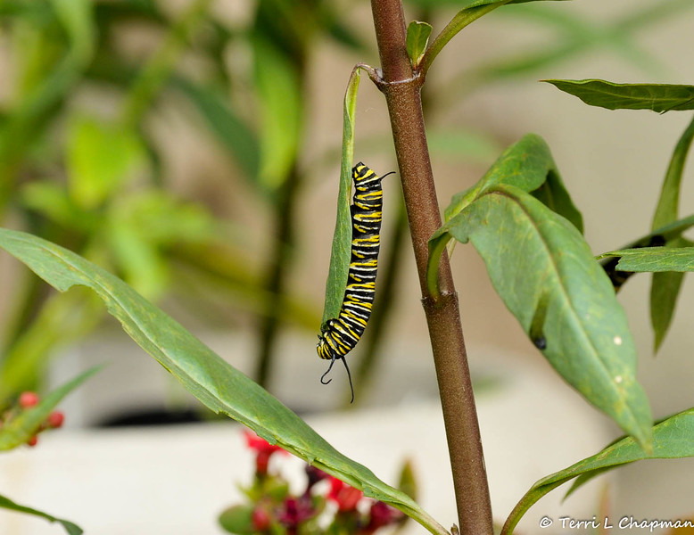 A Monarch Caterpillar eating the leaf of a Milkweed plant.