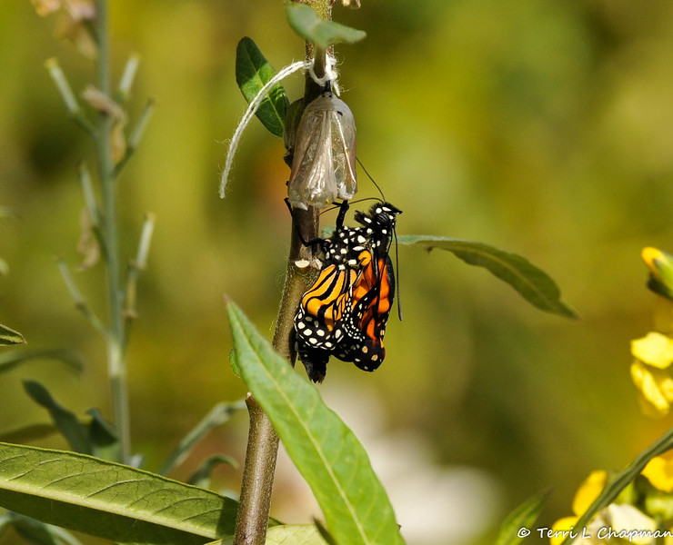 On February 1, 2015, which was 18 days after the caterpillar formed the chrysalis, a male butterfly emerged around 2:30 pm. The thread on the chrysalis is from January 26, 2015, when wind dislodged the chrysalis from the leaf, and I had to reattach it with thread.