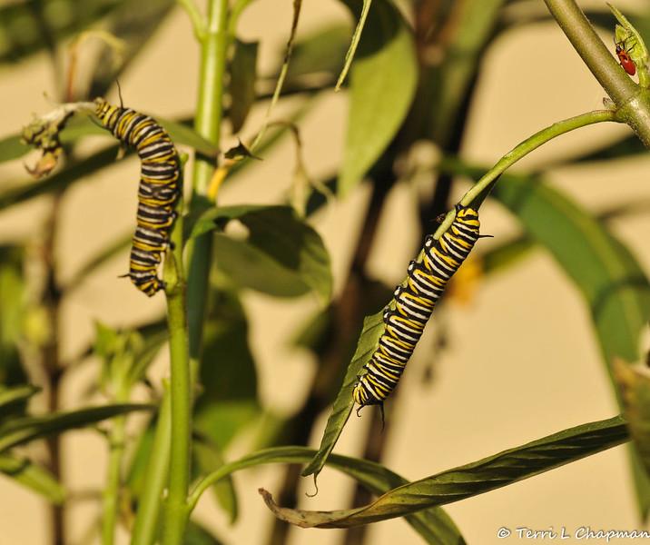 Two Monarch Caterpillars eating Milkweed