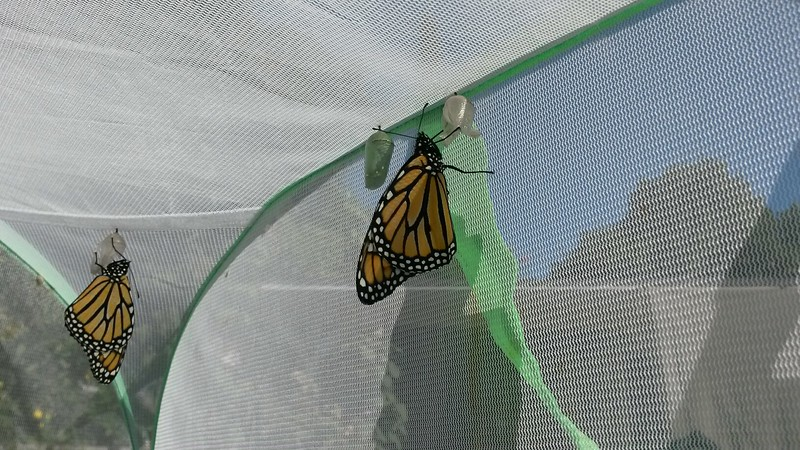 My 1000th Monarch was born at 10:30 a.m. on November 8, 2015 and was a male!! In the foreground is a female, which was Monarch #1001!! It was a milestone day!!