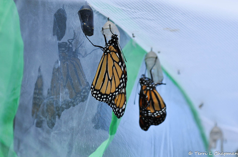 A male Monarch Butterfly a few moments after he emerged from his chrysalis.  To his right is a male Monarch that had just emerged and to his left is a Monarch ready to emerge.