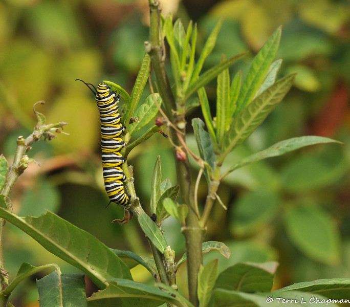 A 13 day old Monarch caterpillar eating a Milkweed leaf. Later in the day, this caterpillar left the Milkweed plant and found a spot to begin its transformation into a chrysalis.