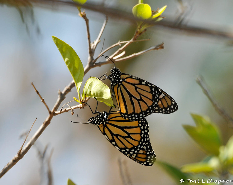 Two Monarch butterflies breeding in my Chinese Fringe tree. The male is on top and can be distinguished from the female by the thinner black webbing within the wings. The female's webbing is thicker and she has no identifying wing spot as the male does. A male has two highly visable black spots on the insect's hind wings and in this image you can see one of the spots if you look closely.