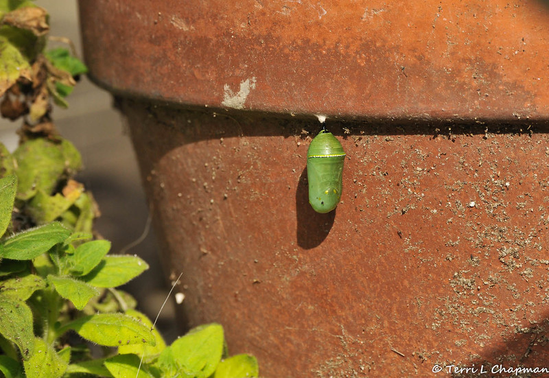 A Monarch caterpillar that has formed a chrysalis on one of my flower pots.