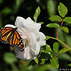 "On February 3, 2015, which was 20 days after the caterpillar formed the chrysalis, a female Monarch Butterfly emerged around 1:00 pm. In this image, she is sipping nectar from the ""Iceberg"" rose."