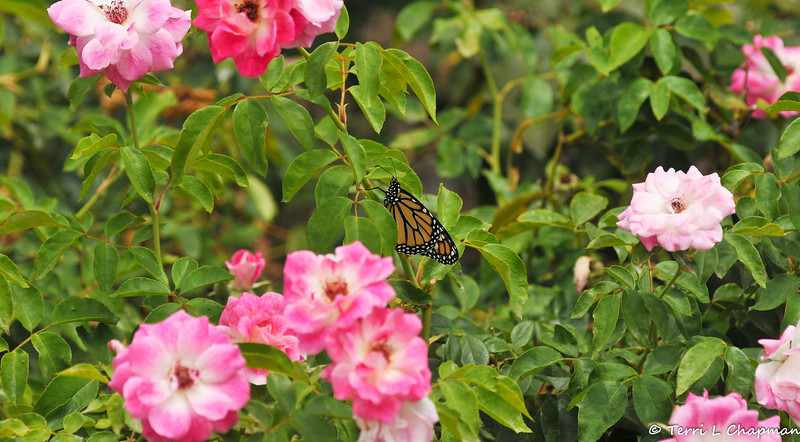 This is a photograph of milestone Monarch  #3,000 born on the morning of July 8, 2021. In this image, the female Monarch is resting on my Iceberg rose bush as she prepares to take her first flight into the world.