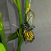 On April 29, 2017, my 1,800th Monarch Butterfly was born and it was a male! Here he is after emerging from his chrysalis.