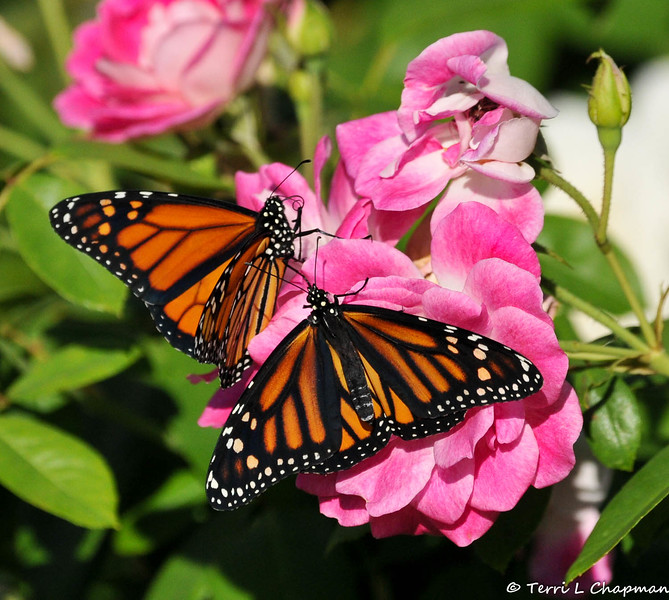 Two beautiful female Monarch Butterflies drying their wings on an Iceberg rose.  These Monarchs were born in my garden on October 4, 2015.