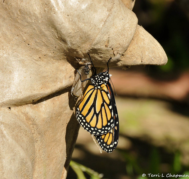 On January 25, 2015, which was 21 days after the caterpillar formed the chrysalis, the butterfly began to emerge around 12:30 pm.