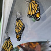 Monarchs #2,997 (a male), #2,998 and #2,999 (both females) were born on July 8, 2021 and released the same day.