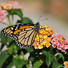 A beautiful female Monarch Butterfly, resting on Lantana blooms, before she takes her first flight. This Monarch was born in my garden on May 8, 2015.