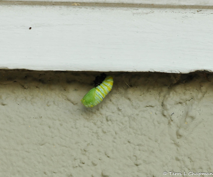 This is a Monarch caterpillar in the process of forming a chrysalis under my windowsill.