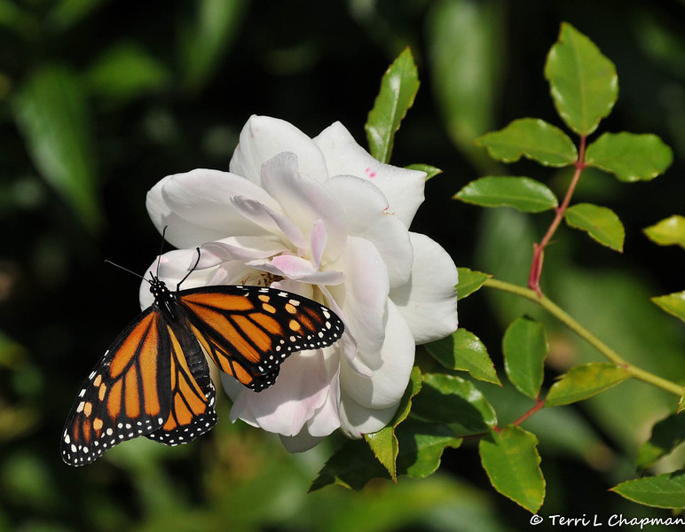 """On February 3, 2015, which was 20 days after the caterpillar formed the chrysalis, a female Monarch Butterfly emerged around 1:00 pm. In this image, she is drying her wings on an """"Iceberg"""" rose."""