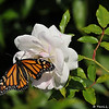 "On February 3, 2015, which was 20 days after the caterpillar formed the chrysalis, a female Monarch Butterfly emerged around 1:00 pm. In this image, she is drying her wings on an ""Iceberg"" rose."