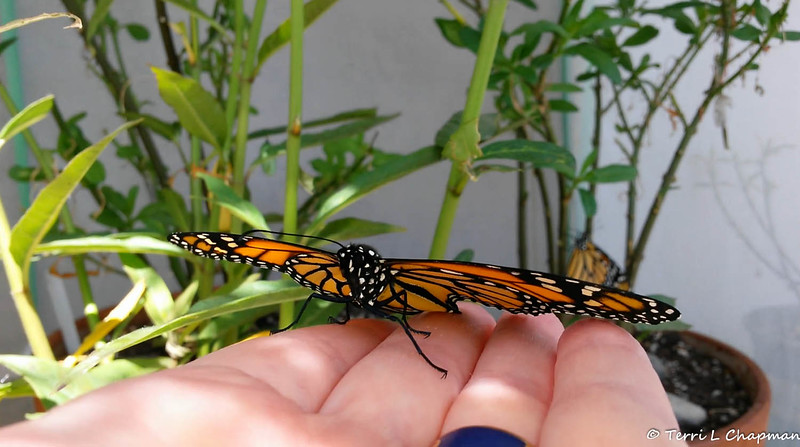 "A female Monarch Butterfly born in my garden on May 3, 2015. In this image, I am holding the butterfly to see if her wings are fully dry so that she can be released from her ""butterfly castle."" If you look closely, you can see another Monarch in the background drying its wings."