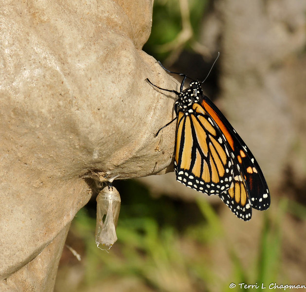 On January 25, 2015, which was 21 days after the caterpillar formed the chrysalis, the butterfly began to emerge around 12:30 pm.  In this image, the butterfly began to walk up the statue after drying in the sun for 2 hours.